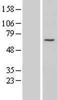 NBL1-08810 - CCDC60 Lysate