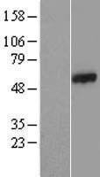 NBL1-08812 - CCDC65 Lysate