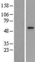 NBL1-08815 - CCDC7 Lysate