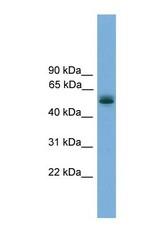 NBP1-57022 - CCDC76