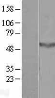 NBL1-08823 - CCDC78 Lysate