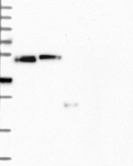 NBP1-91764 - CCDC81