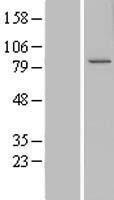 NBL1-08825 - CCDC82 Lysate