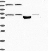 NBP1-83444 - CCDC83