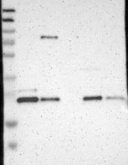 NBP1-93528 - CCDC90B