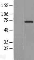NBL1-08832 - CCDC93 Lysate