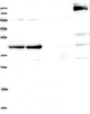 NBP1-91766 - CCDC94