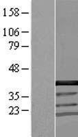 NBL1-08833 - CCDC94 Lysate