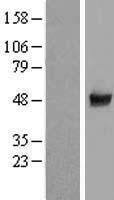 NBL1-08835 - CCDC97 Lysate