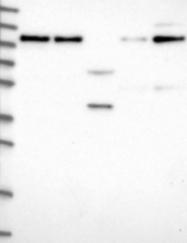 NBP1-85837 - CCK-B Receptor