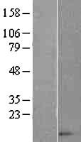 NBL1-08844 - CCL14 Lysate