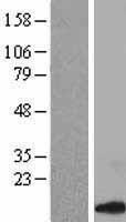 NBL1-08845 - CCL14 Lysate