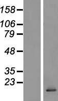 NBL1-08855 - CCL28 Lysate