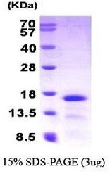NBP1-30232 - MEC / CCL28
