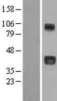 NBL1-13729 - CCN3 Lysate