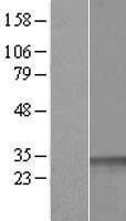 NBL1-08874 - CCNDBP1 Lysate