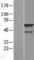 NBL1-08900 - CCT3 Lysate