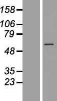 NBL1-08902 - CCT6B Lysate