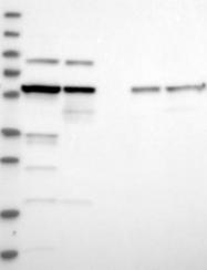NBP1-88285 - CCT8 / TCP1 theta