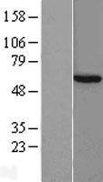 NBL1-08903 - CCT8 Lysate