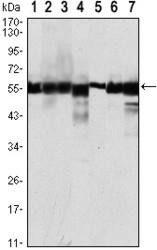NBP1-47356 - CD10 / Neprilysin