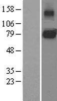 NBL1-11964 - CD130 Lysate