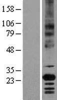 NBL1-08036 - CD147 Lysate