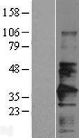 NBL1-08037 - CD147 Lysate