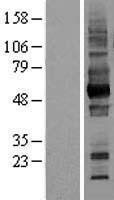 NBL1-08038 - CD147 Lysate