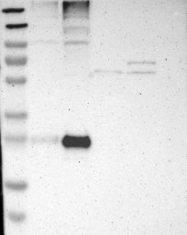 NBP1-80924 - CD151 / TSPAN24