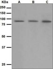 NBP1-95864 - CD168 / HMMR