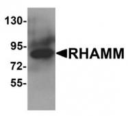 NBP1-76538 - CD168 / HMMR