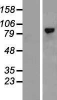 NBL1-11623 - CD168 Lysate