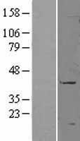 NBL1-08911 - CD177 Lysate