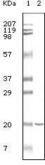 NBP1-47331 - CD19