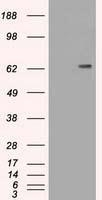 NBP1-47689 - CD19