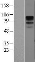 NBL1-08913 - CD19 Lysate