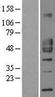 NBL1-08914 - CD1d Lysate