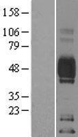 NBL1-08916 - CD2 Lysate