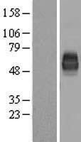 NBL1-08922 - CD226 Lysate