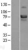 NBL1-07931 - CD239 Lysate