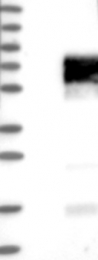 NBP1-89386 - CD244