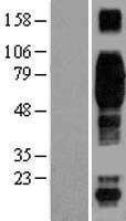NBL1-08924 - CD244 Lysate