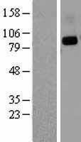 NBL1-09997 - CD26 Lysate