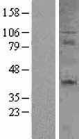 NBL1-08927 - CD27 Lysate