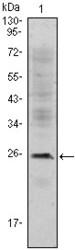 NBP1-51611 - CD3
