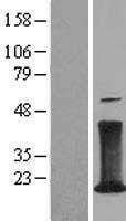 NBL1-08925 - CD3 zeta Lysate