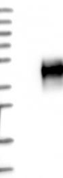 NBP1-84432 - CD300C / CMRF35A1