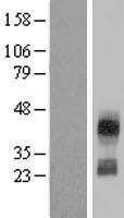 NBL1-08931 - CD300C Lysate