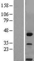 NBL1-08933 - CD300LG Lysate